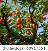 ripe tangerines growing on a tree en spain - stock photo