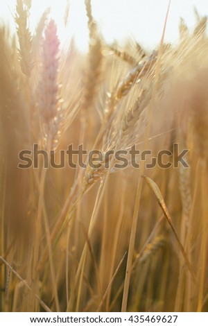 Ripening ears of wheat field on sunset background, natural production