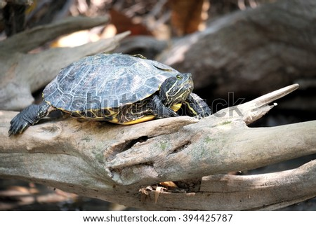 River turtle standing on the log - Soft focus