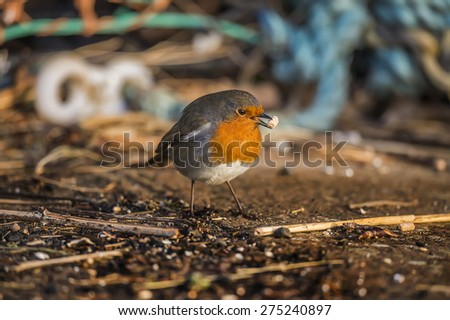Robin, Erithacus rubecula, at the harbour eating