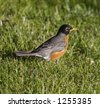 Robin in the Grass - stock photo