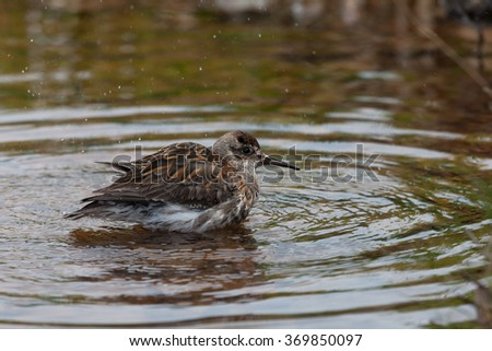 Rock sandpiper that feeds a strip casting  sunny day, Commander Island, Kamchatka, Russia