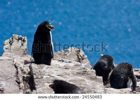 Rockhopper penguins on the rock