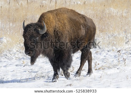 Rocky Mountain Arsenal National Wildlife Refuge near Denver, Colorado - bison.