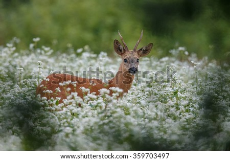 Roe deer buck in a filed white radish