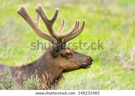 Roosevelt Elk with Velvet Antlers, Yellowstone National Park, USA