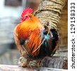 Rooster perched upon fence on a farm - stock photo