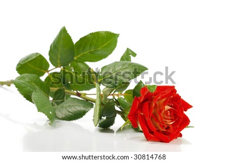 Rose, isolated on white