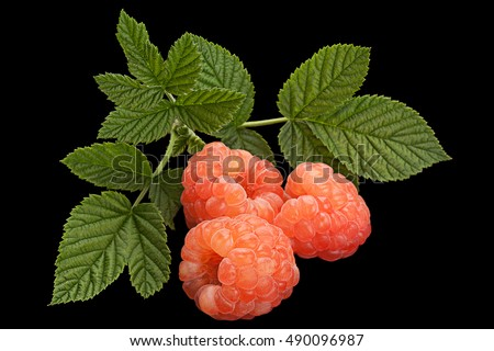 Rose raspberry fruit with leaf isolated on black background
