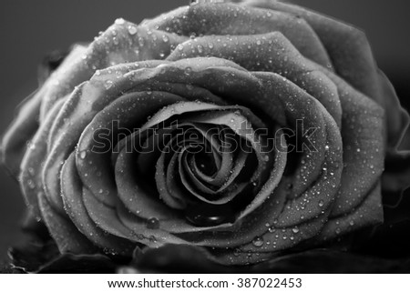Rose with petals, macro closeup, shallow depth of field, monochrome converted