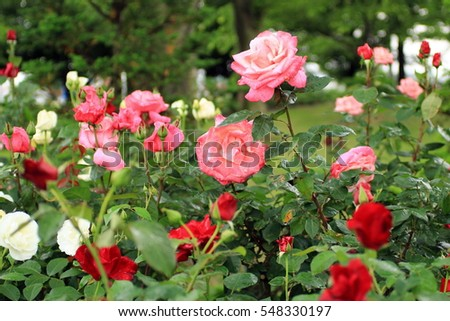 Roses around the world, rose garden, petals wet by rain, green leaves, beautiful roses, colorful beautiful roses, blue sky, married women, Saitama, Japan, 5/11/2016.