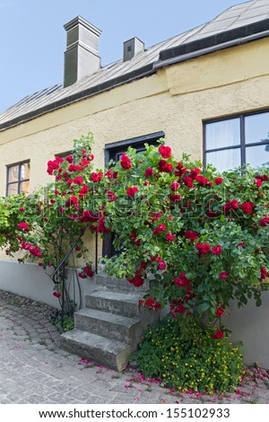 Roses growing near a house in Visby, a medieval town on the island of Gotland, Sweden.