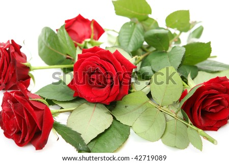 Roses on a white background