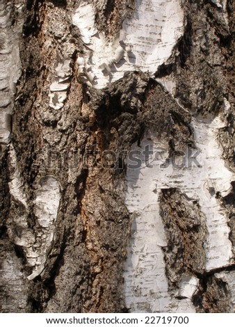 rough bark of old birch