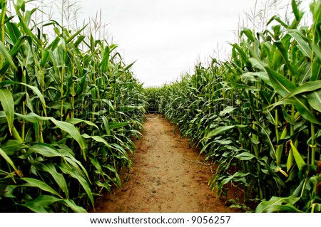 Corn crop Stock Photos, Images, & Pictures | Shutterstock