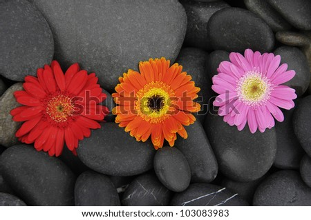 Row of gerbera daisy in black stones background