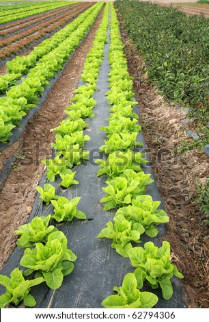 rows and rows of fresh green lettuce growing in a field on a farm in irvine california