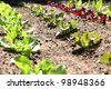 Rows of organic lettuce growing on a spanish farm. - stock photo