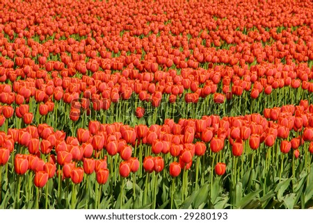 rows of red tulips