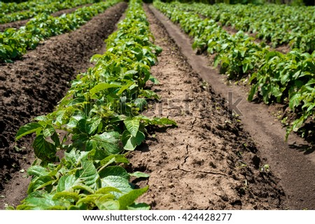 Rows of young potato plants on the field - selective focus, copy space