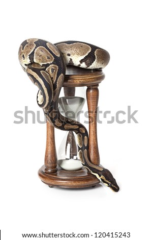 Royal Python with hourglass on white background