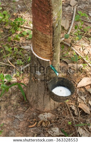 rubber milk in rubber bowl from rubber tree plant