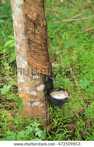Rubber tree plantation in Thailand. Natural rubber farming