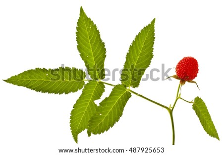 Rubus illecebrosus isolated on white background. Balloon berry