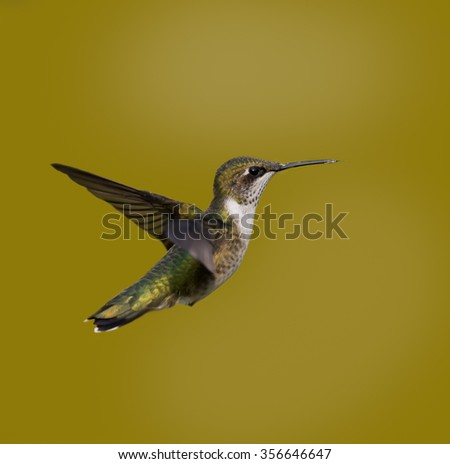 Ruby-throated Hummingbird on Yellow Background