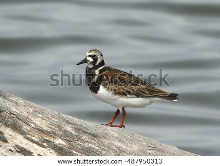 Ruddy Turnstone (female)