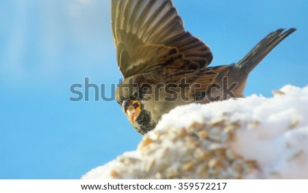 ruffled sparrow in the winter time