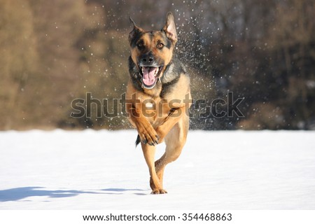 Running german Sheppard