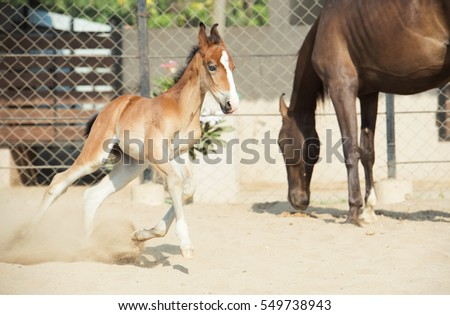 Running Marwari chestnut colt in paddock. India