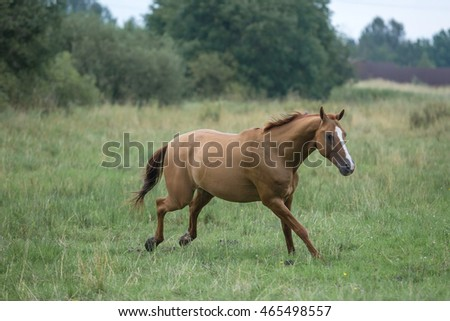 Russian Don horse in the pasture at summer day
