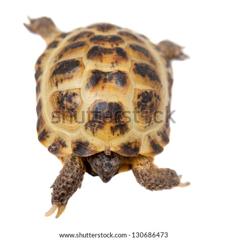 Russian Tortoise or Central Asian tortoise (Agrionemys horsfieldii), female, isolated on white background.