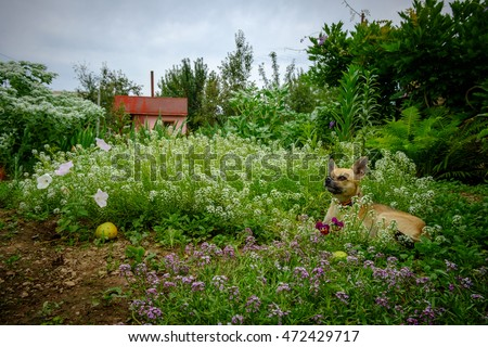 Russian Toy Terrier lies in a dacha garden