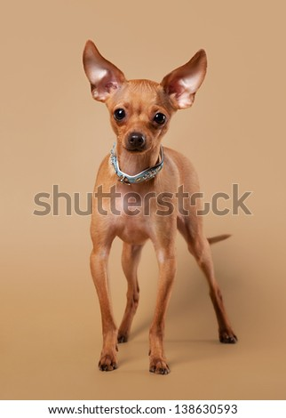 Russian toy terrier puppy on light brown background