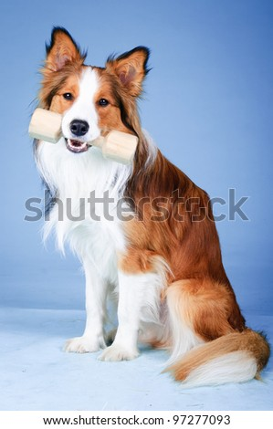 Sable and white border collie portrait in studio, training dog (aport)