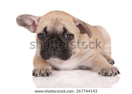 sad french bulldog puppy lying down