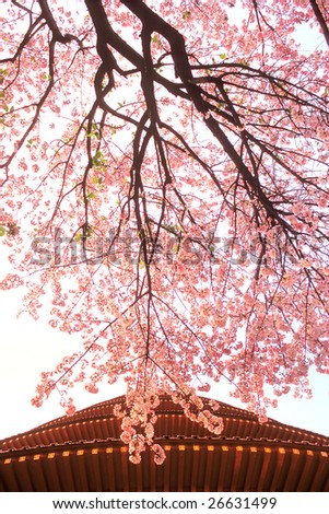 Sakura tree in Front of a Chinese buildings in Taiwan