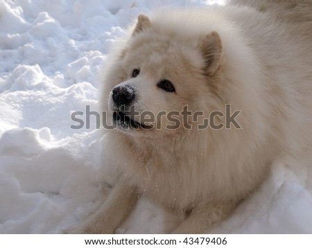 Samoyed dog play in the snow man's best friend