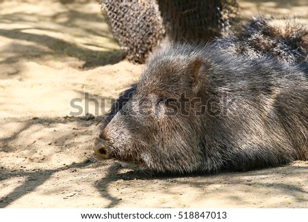SAN DIEGO, USA - MAY 29, 2015: Wild boar sleeping in the shade of a tree in the San Diego Zoo.