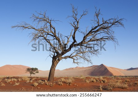 Sandy dune and dried dead trees in a Namibian desert, Namib Naukluft national park, Namibia