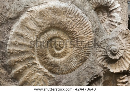 Scaphites from the family of heteromorph ammonites widespread during the Cretaceous Period found as fossils. Extinct prehistoric animals.