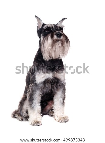 Schnauzer dog in a white studio