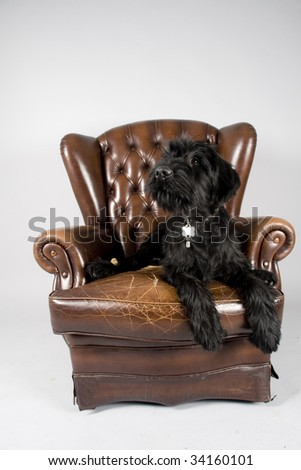Schnauzer pup laying on the chair,