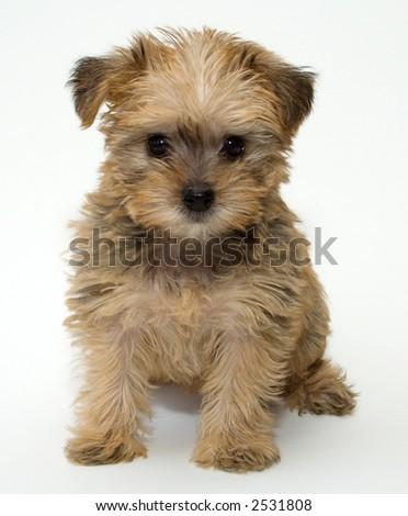 Happy Schnoodle Puppy (Schnauzer/Poodle Mix) - stock photo