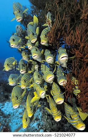 School of sweetlips fish, Plectorhinchus polytaenia, hiding behind soft corals of Raja Ampat, Indonesia.
