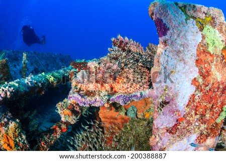 Scorpion Fish hiding on a metal wreck with a SCUBA diver in the background