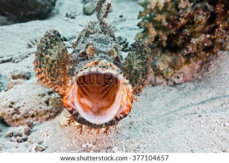 Scorpionfish on the coral reef